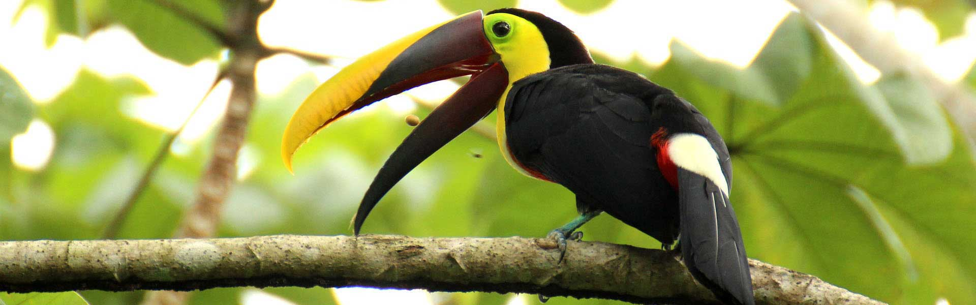 Voyage Costa Rica : Toucan à carène de la jungle du Costa Rica